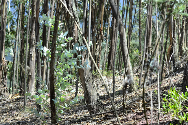 Des eucalyptus