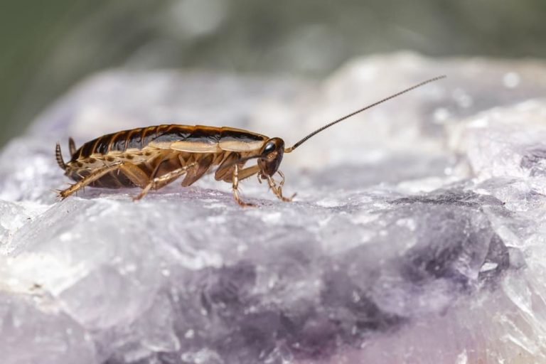 Cafards et blattes: Lutter naturellement contre l'invasion!